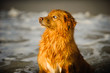 Nova Scotia Duck Tolling Retriever dog outdoor portrait by water