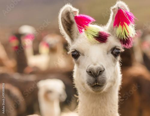 Fototapeta Andes region Bolivia lama closeup
