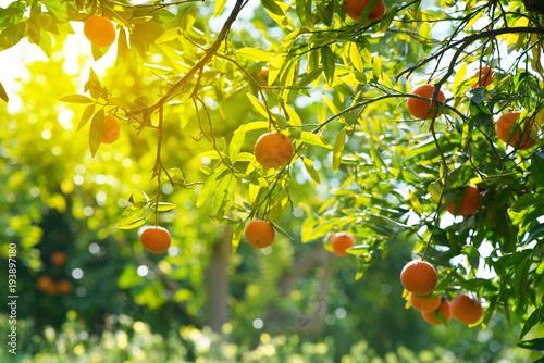 Oddziały z pomarańczowymi owocami.