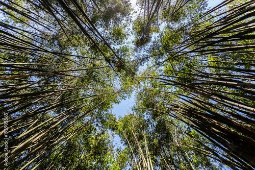 Fotobehang Bamboe baboo forest in sunlight again blue sky