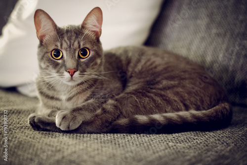 Fototapeta Portrait of cat. Cat laying on bed, looking at camera, low light environment, shallow deep of field.