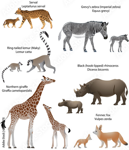 Collection of animals with cubs living in the territory of Africa: northern giraffe, black rhinoceros, Grevy's zebra, ring-tailed lemur, fennec fox, serval