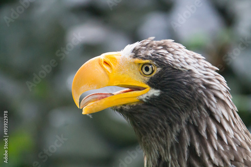 Aluminium Eagle yellow-billed eagle closeup with its mouth open