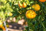 Ripe juicy orange mandarin on a tree - 193934599
