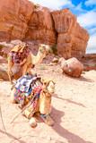 two camels in the desert, Wadi Ram Jordan - 193943155