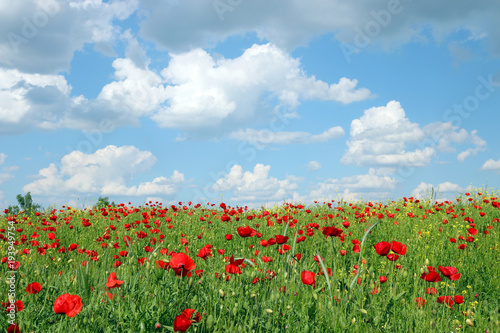 Fototapeta blue sky with clouds over poppies flower field landscape spring season