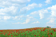 red poppies flower field and blue sky landscape spring season