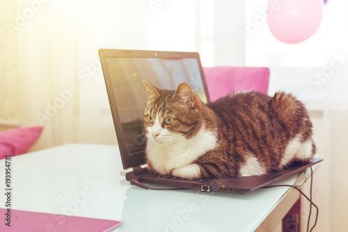 Fotobehang Kat Cat hacker lies on the laptop keyboard.