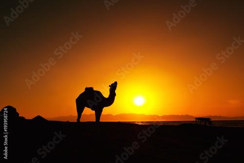 Aluminium Kameel Sunrise and camel in Dahab, Egypt