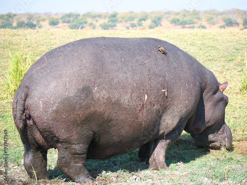 Aluminium Neushoorn Chobe national park,Botswana-August 18, 2016: hippopotamus and red-billed oxpecker in the Chobe national park, Botswana