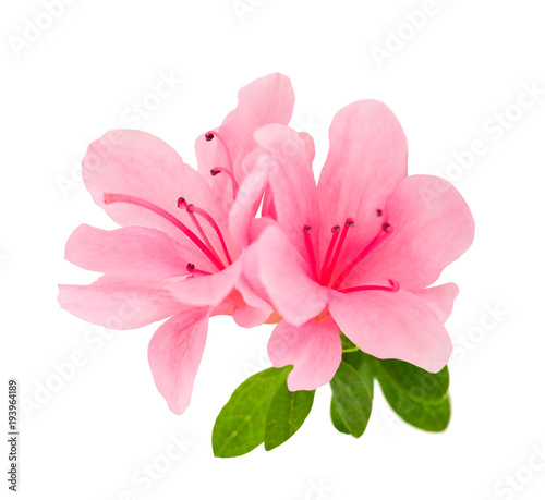 Fotobehang Azalea azalea flowers isolated