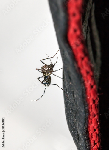 Asian Tiger mosquito sitting on a black textile, close up. - 193965181