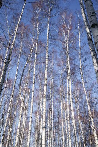 Plexiglas Berkenbos Birch Grove. Forest.