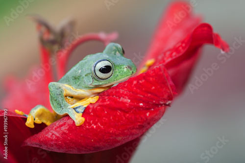 Aluminium Kikker a green tree frog at the top of red flower