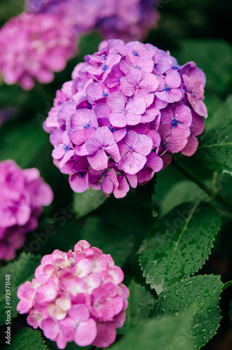 Fotobehang Hydrangea Beautiful pink Hydrangea flower with green leaves in nature garden, Close up vertical shot