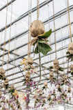 The orchid hangs on the roof of the greenhouse and grows downwards. - 193971989
