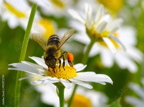 Fotobehang Bee Honey bee worker on flower