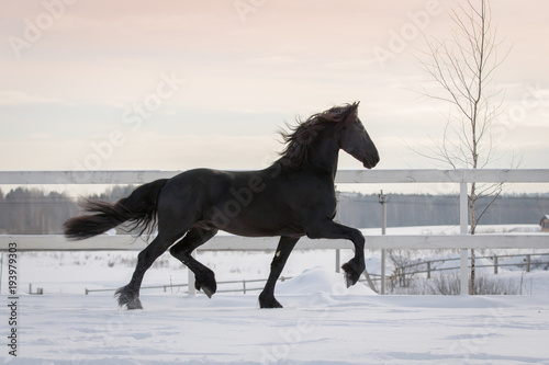 Black horse with the mane flutters on wind running on the snow-covered field in the winter