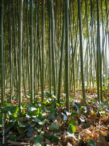 Fotobehang Bamboe Bamboo forest and ivy