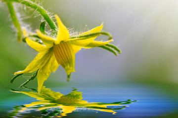 Tomato Flower isolated on green.Water reflection.
