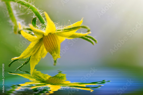 Tuinposter Natuur Tomato Flower isolated on green.Water reflection.