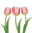 Tulips flowers on white background. Vector illustration