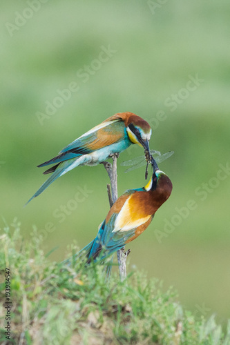 Fotobehang Bee Beautiful colorful enamoured couple of bee-eaters sitting on a twig, Merops apiaster, the male is bringing an insect as part of the mating ritual