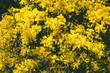 Quadro wattle tree in bloom