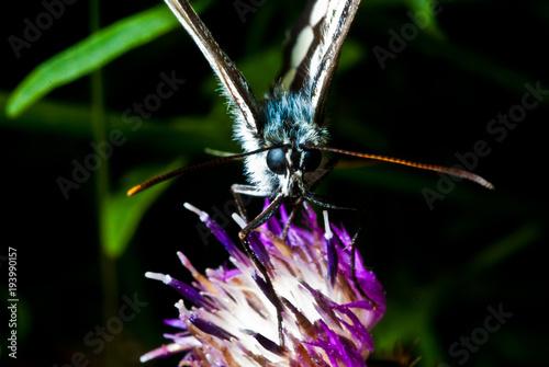 Aluminium Vlinder macro farfalle