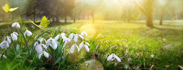 Easter spring flower background; fresh flower and yellow butterfly on green grass background © Konstiantyn