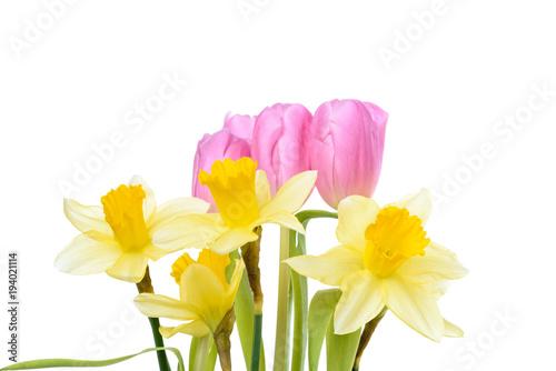 Tulipany i daffodils odizolowywający przeciw białemu tłu z kopii przestrzenią
