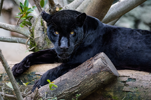 Fotobehang Panter Black jaguar laying on a log