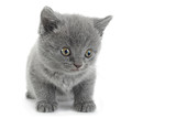 Scottish Fold gray cat
