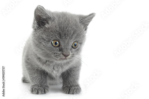 Aluminium Kat Scottish Fold gray cat