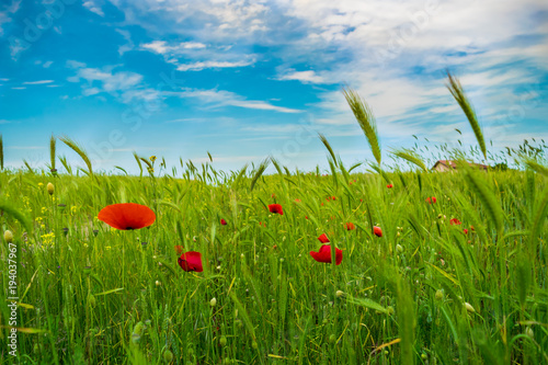 Fotobehang Klaprozen Poppies Field With House