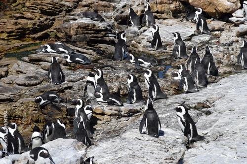 Fotobehang Pinguin Brillenpinguinkollonie