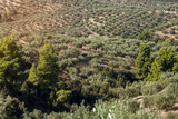 Top view on olive grove. Green plants on the hills. The cultivation and production of olive oil. - 194042510