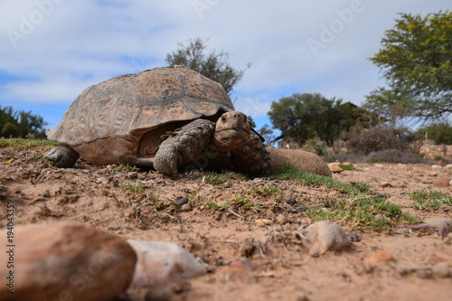 Fotobehang Schildpad Afrikanische Landschildkröte