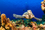 on the surface of the deep blue sea is the silhouette of a scuba dive boat. Right at the bottom of the mooring line is a hawksbill turtle, a common sight on this tropical reef in the Cayman Islands - 194047703