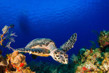 on the surface of the deep blue sea is the silhouette of a scuba dive boat. Right at the bottom of the mooring line is a hawksbill turtle, a common sight on this tropical reef in the Cayman Islands - 194047734