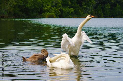 Aluminium Zwaan Swan family in natural habitat lake water