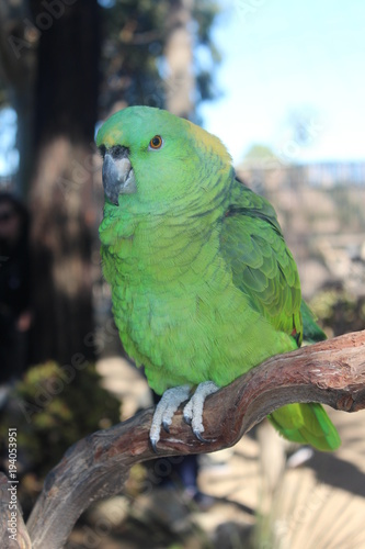 Aluminium Papegaai Beautiful Green Parrot sitting on branch, natural background, close up