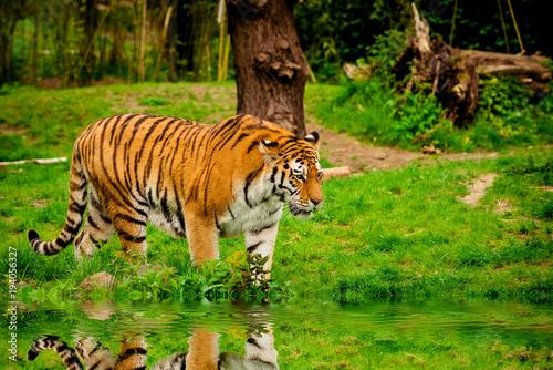 Aluminium Tijger Tiger in forest. Tiger portrait