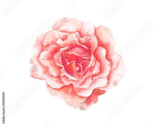 akwarela-rozowy-kwiat-malarstwo-na-bialym-tle