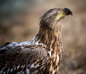 White-tailed eagle from Hungary