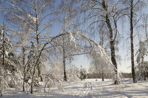 Fototapeta winter frozen birch woods in morning light