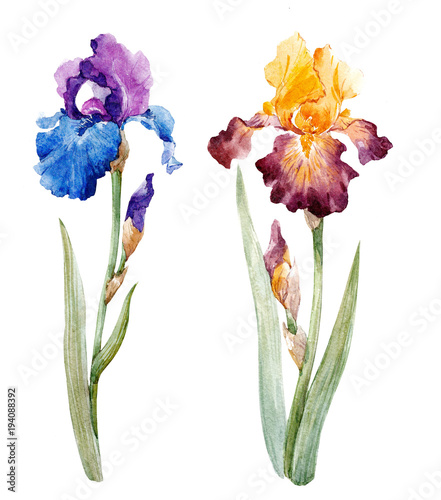 Watercolor iris set - 194088392
