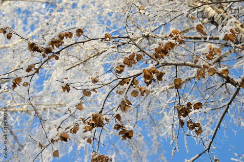 Plexiglas Berkenbos Winter. There are branches of trees with dried leaves against the sky