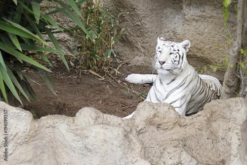 Fotobehang Panter White tiger resting