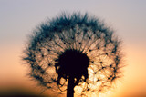 close up of Dandelion abstract color in sunset